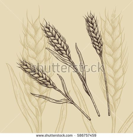Image result for triticale vector