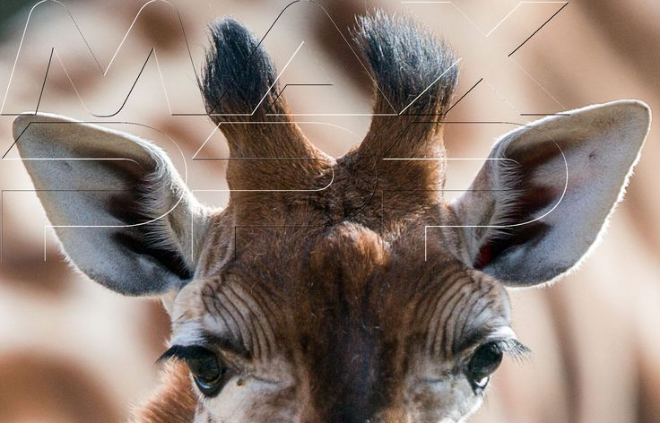 ©JENS BUETTNER/EPA/MAXPPP -  A picture made available on 27 March 2015 shows a baby giraffe, born at the end of February, at Schwerin Zoo in Schwerin, Germany, 23 March 2015. The as yet unnamed animal is due to be christened on Easter Monday. #nature #girafe #bebe #insolite #photooftheday #babygiraffe #girafon #portrait