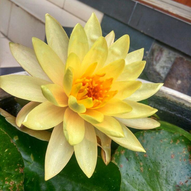 Lotus flower in Dhammadipa arama temple, east java, Indonesia