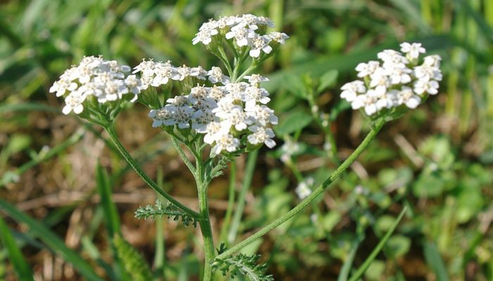 Yarrow Herb Health Benefits And Side Effects Herbs Yarrow Healthy Garden