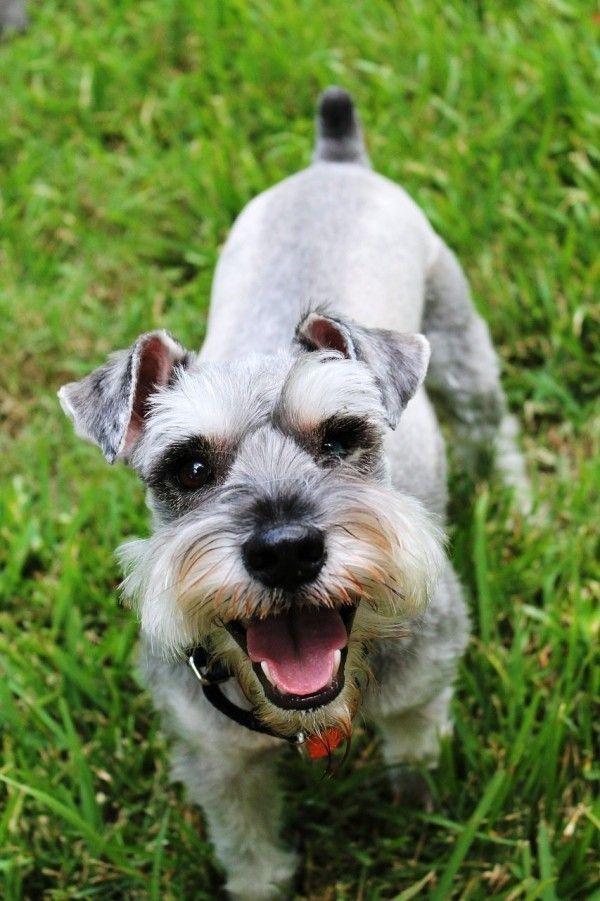 6 Allergiker Hunde Rassen Fur Tierlieber Mit Schnupfen Wohnideen Und Dekoration Schnauzer Welpen Zwergschnauzer Welpen Schnauzer Pflege