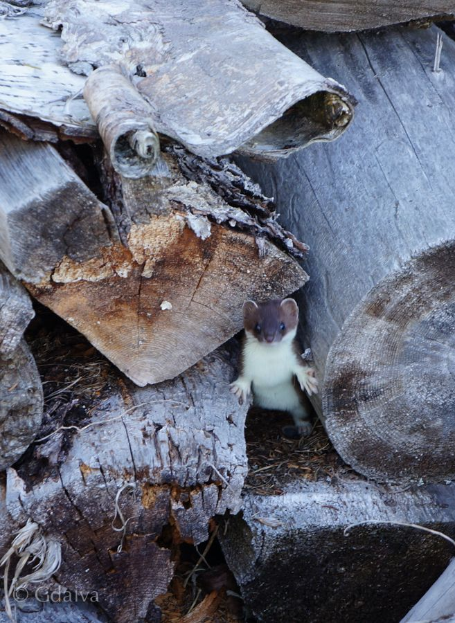 Weasel is hiding in a firewood stack. Tiny but vicious. Visit us to experience sustainable living and gourmet adventure