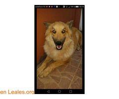 Kitsya ℹ   POR FAVOR COMPARTAN.Se busca a esta perra se llama Kitsya tiene chip lleva nueve dias fuera de casa.La zona donde desapareció es LA CASA DE LA CAL a 15 km. de San Mateo. Quién tiene un compañero sabe lo mal que lo estamos pasando por no saber dónde ni cómo está.Gracias.  En todos los navegadores: Leales.org y en todas las redes sociales: @lealesorg  #Perdido #Encontrado  Contacto y Info: Pulsar la foto o aquí: https://leales.org/perdidos-o-encontrados/perros-perdidos/kitsya_i3885…