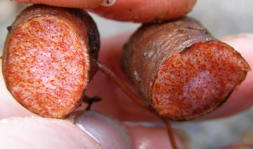 Blood Root kills cancer cells