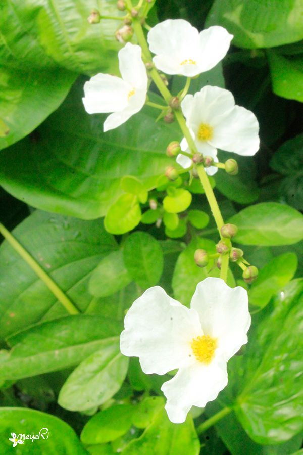Melati air - Echinodorus palaefolius  -Tanaman ini punya banyak kelebihan. Selain rajin berbunga tak kenal musim, juga punya bentuk daun yang eksotis, makin ke atas makin melebar. Bunga melati air berwarna putih dan muncul sepanjang waktu. Bunga inilah yang digunakan untuk perbanyakan. Setelah mekar dan keluar tunasnya, kemudian keluar daun. Nah, daun ini lalu dipotong dan ditancapkan ke media tanam.