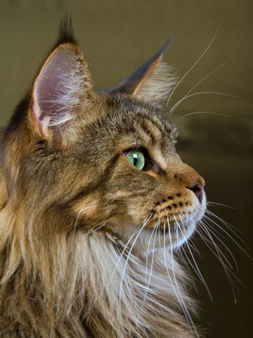 Main Coon Cat - gorgeous: The Maine, Beautiful Cat, Kitty Cat, Gorgeous Eye, Eye Colors, Lion Cat, Maine Coon Cat, Fur Baby, Green Eye