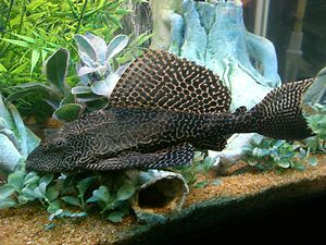 17 best ideas about plecostomus on pinterest freshwater for What fish eat algae