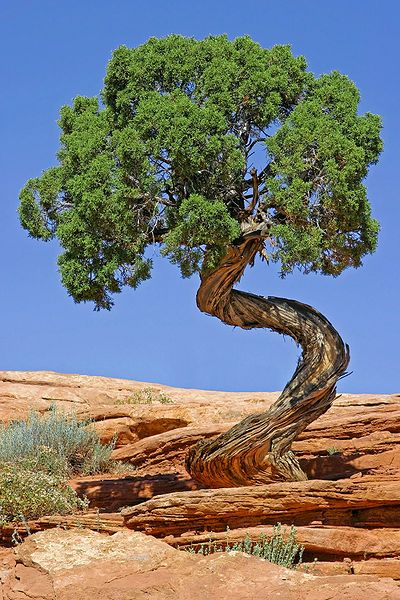 Junipers: The Curliest Trees on Earth