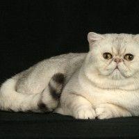 #dogalize Razas Felinas: Gato exotico de pelo corto carácter #dogs #cats #pets