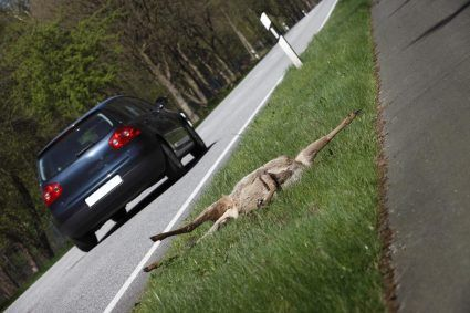 Hiszpański parlament znowelizował prawo o bezpieczeństwie drogowym. Ważna zmiana dotyczy kwestii odpowiedzialności za szkody powstałe w wyniku wypadków z udziałem zwierzyny.