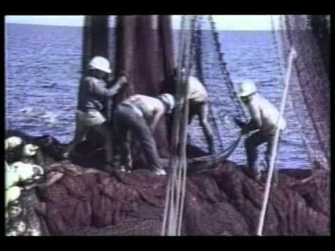 The famous video capture by Samuel LAbudde, during the Tuna fisherman were literally killing dolphin's.