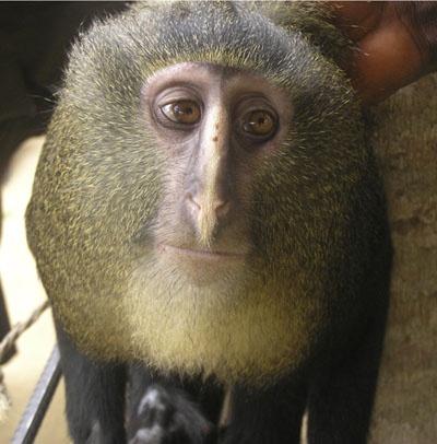 Scientists identify new monkey species with human-like eyes: Democrat Republic, The Scientist, Cercopithecus Lomamiensi, Guenon Monkey, Nairobi Kenya, Lesula Monkey, Monkey Species, Eye, Monkey Discover