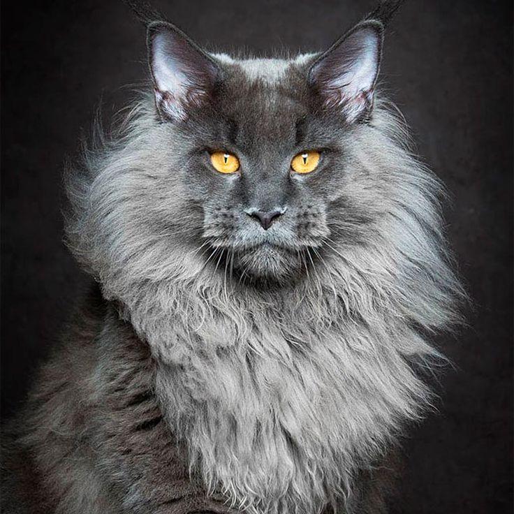 Maine Coon é provavelmente uma das raças de gatos mais impressionantes, isso por…