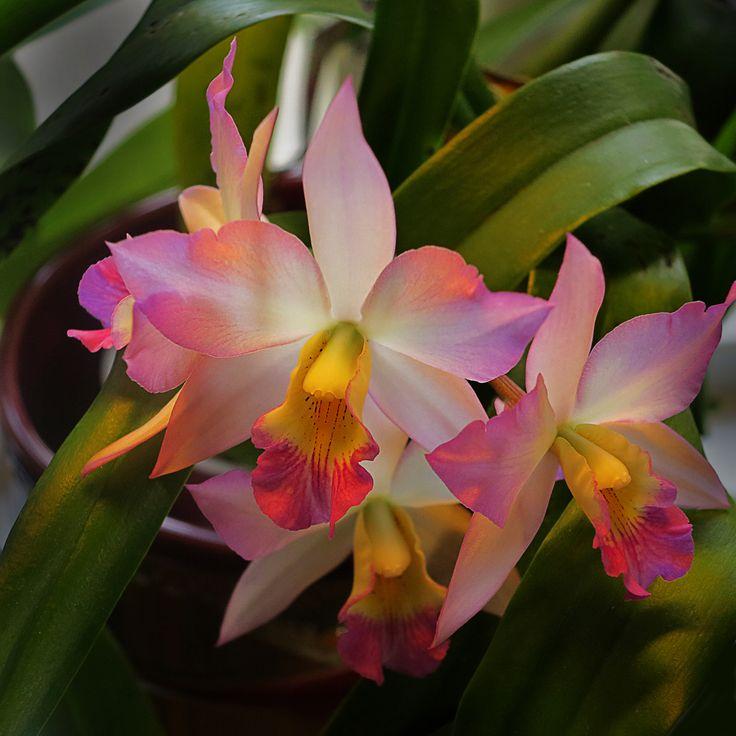 Cattleya Appleblossom, orchid