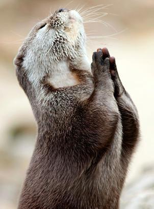 amen: Dear God, Animal Pictures, Animals Doing Yoga, Cute Baby Animals, Yoga Animals, Otters, Praying Otter