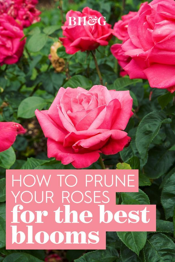 Here S How To Prune Your Roses To Get The Most Blooms And Healthiest Plants In 2021 Pruning Roses Outdoor Flowers Plants