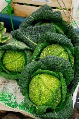 Perfection Savoy Cabbage