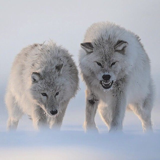 Tonight, we hunt. Photographed by ©Vincent Munier