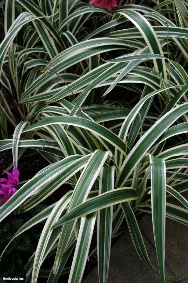 Flax Lily (Dianella tasmanica 'Variegata') Along hedge in backyard, loves shade to part sun.