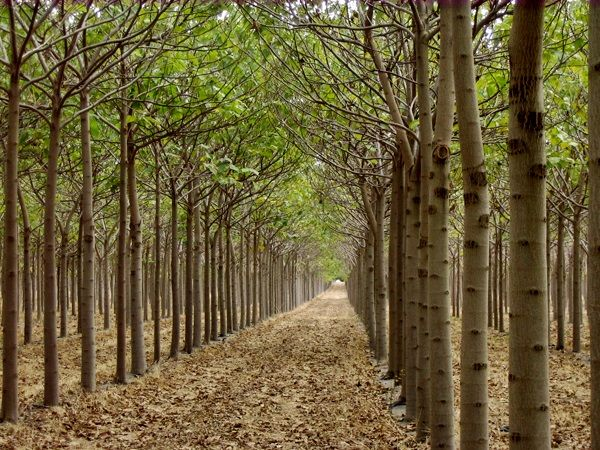 Plantation of Paulownia (approx 3 years). Paulownia tree is a valuable resource for reforestation and wood industry.