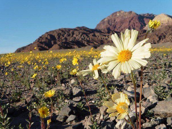Самое жаркое место на планете — американская Долина Смерти — зацвела впервые за 10 лет #факты #интереснре #рекорды #СамоеСамое