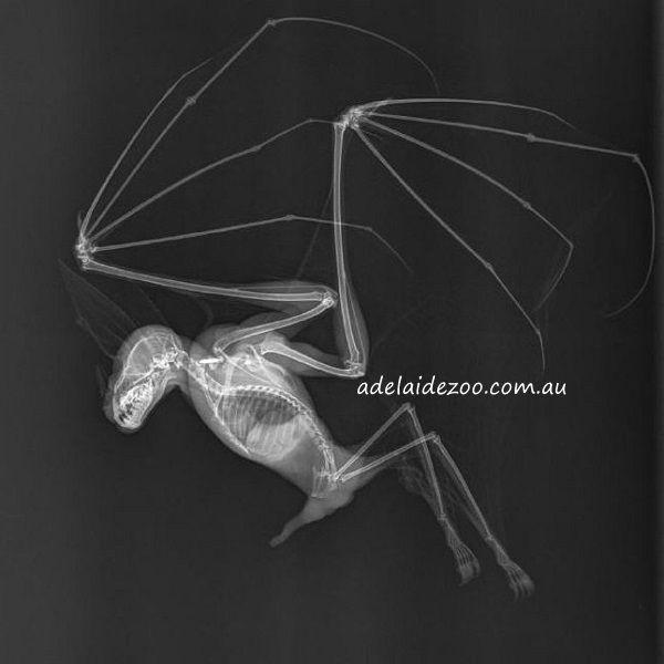 Ghost Bat - Adelaide Zoo http://www.batsrule.info/2016/01/ghost-bat-adelaide-zoo.html  #batsrule #bats #wildlife #microbat  http://www.adelaidezoo.com.au