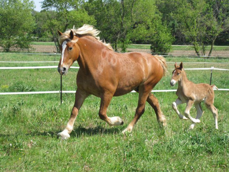 2012 - Sandrock Belgian Farm Registered Belgian Horses