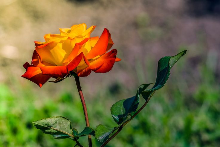 rose2 - rose
