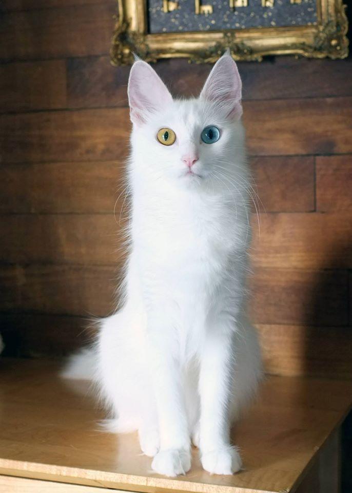 Turkish angora kittens brisbane