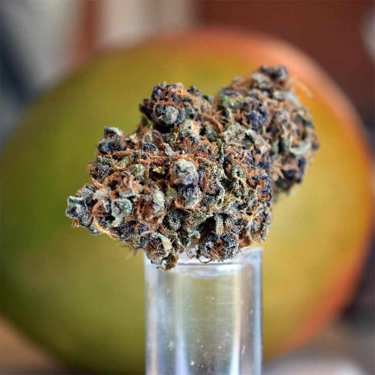 Tangie!! It's is back in stock at The Hut! This multi-coloured sativa strain tastes of tangerines and lemon and gives an energetic daytime high that will keep you motivated and clear-headed. #tangie #sativa #weed