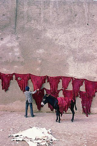 Morocco, Historical City Of Fes, In Winter Near The Tanners Souk (Market) Man Putting Tanned Red Skins To Dry On The Ramparts