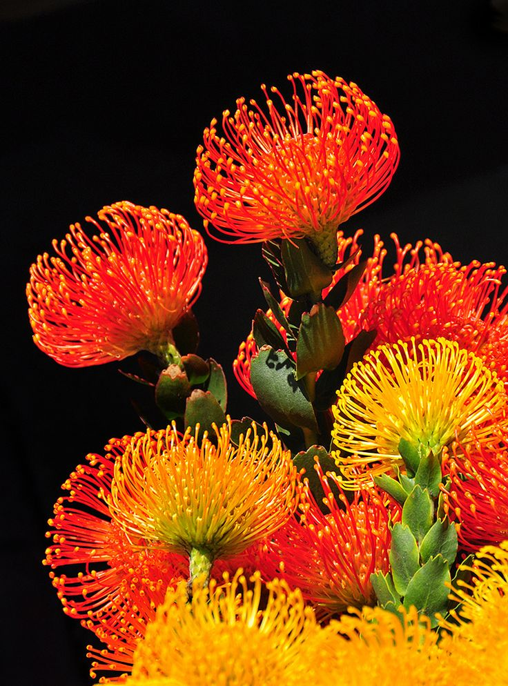 """https://flic.kr/p/bSe1np   Flaming Protea   I saw these in a farmers' market in the Little Italy section of San Diego. These flowers were side lit and there were shadows on the pavement that turned absolutely black with a little help from Photoshop. Other pictures I've take over the years of San Diego are in my San Diego Set. <a href=""""http://www.flickr.com/photos/9422878@N08/sets/72157623536348425/with/6982321650/"""">www.flickr.com/photos/9422878@N08/sets/72157623536348425/...</a>"""