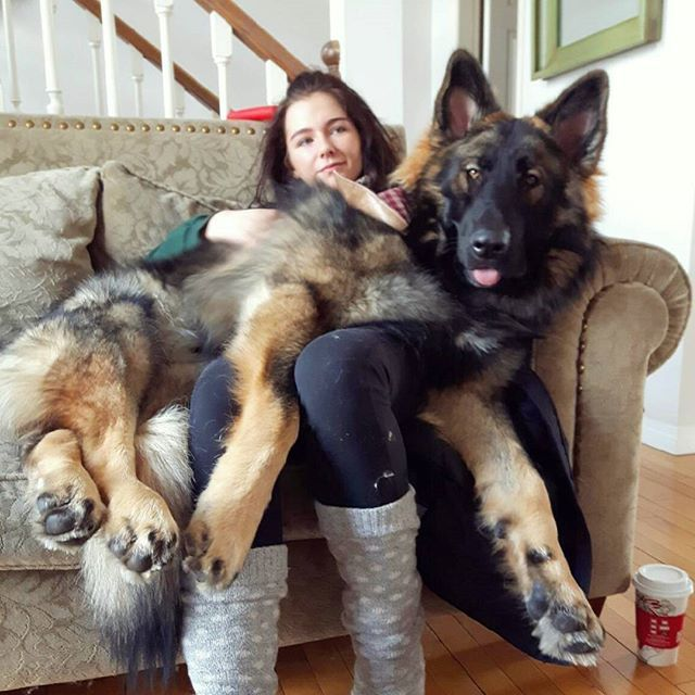 Just A Cuddly Little Lap Dog Memphisthegsd Germanshepherd