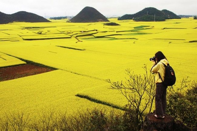 Golden Sea of Canola Flowers in Luoping, China