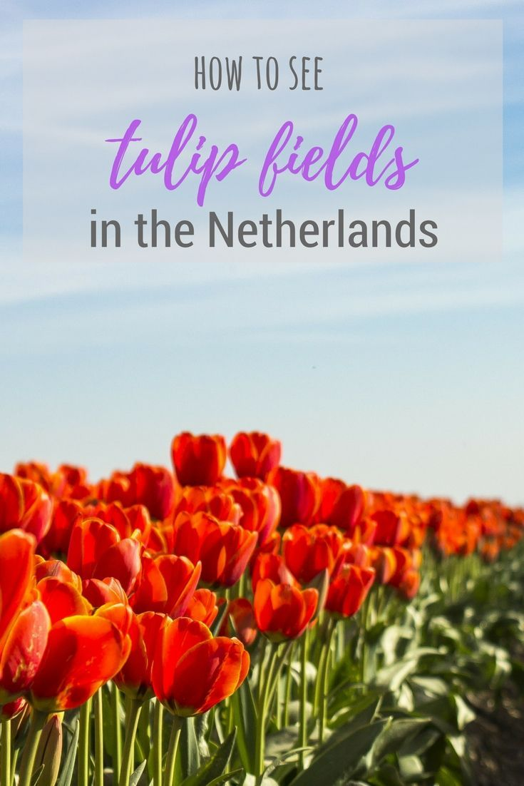 Tulip season hits Holland every year between