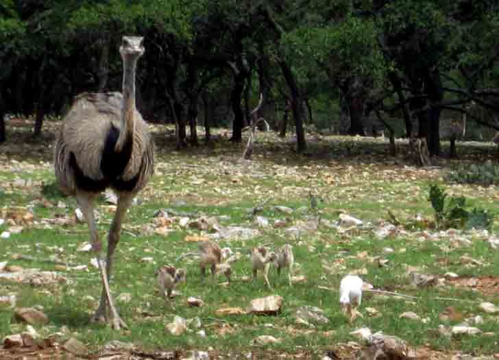 Rheas are large, flightless birds with gray-brown plumage, long legs and long necks, similar to an ostrich. These birds can reach 5.6 feet and weigh up to 88 pounds. Their wings are large for a flightless bird and are spread while running, to act like sails. Pictured below is a Rhea and several chicks that are camouflaged among the stones.  The male Rhea sits on tbe nest until the chicks hatch.