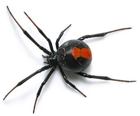 we have them around our house every summer, they are beautifully designed but deadly as hell !