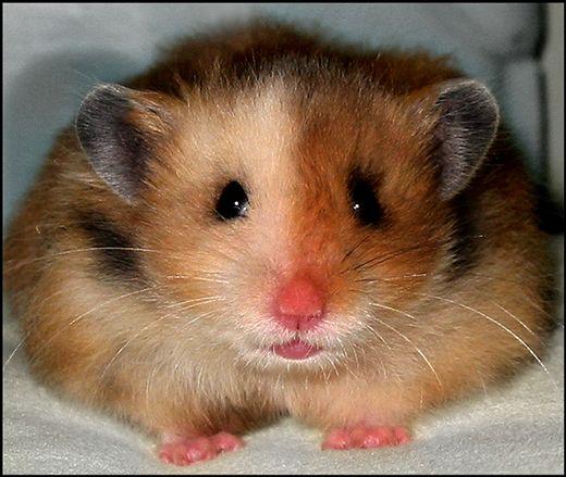 I Haz Two Faces Cute hamsters, Hamster, Bear hamster