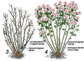 !!!!!!!Правильная обрезка садовых роз