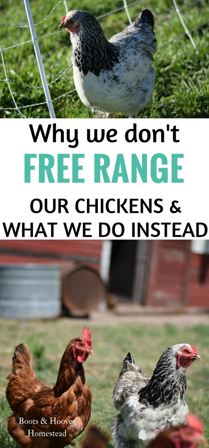 Why we don't free range our chickens & what we do instead