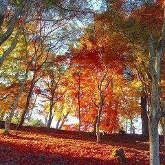 静岡県にある穴場紅葉スポット修善寺自然公園を紹介します 修善寺自然公園は静岡県伊豆市にある自然豊かな公園です 富士山も一望できて地元の人にも観光客にも人気ですが秋は絶対に行って欲しいシーズン 公園内にはモミジ林があり地面はまるで紅葉の絨毯がしかれたように美しくなります まるでドラマのワンシーンのようですよ tags[静岡県]