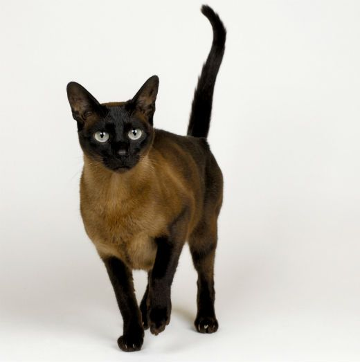 Chocolate Burmese - this little guy should really be on my wish list!