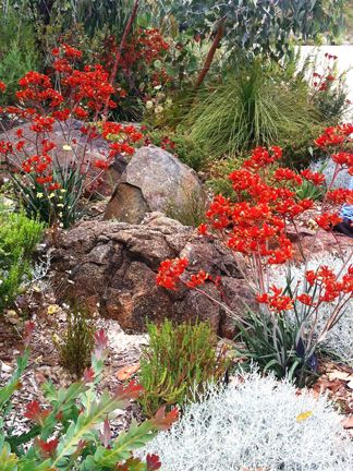 'King's Park Federation Flame' kangaroo paws. I love having lots of little bushes of plants in the same space.