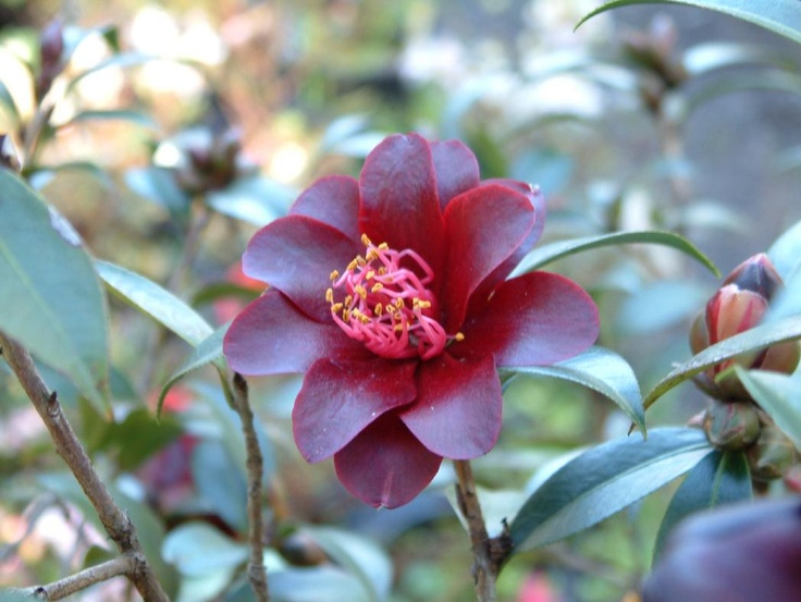 150 Best Camellia Images On Pinterest