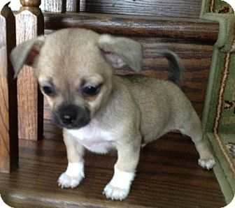 Rockville, MD - Pug/Chihuahua Mix. Meet Gizmo-ADOPTION PENDING!! a Pup