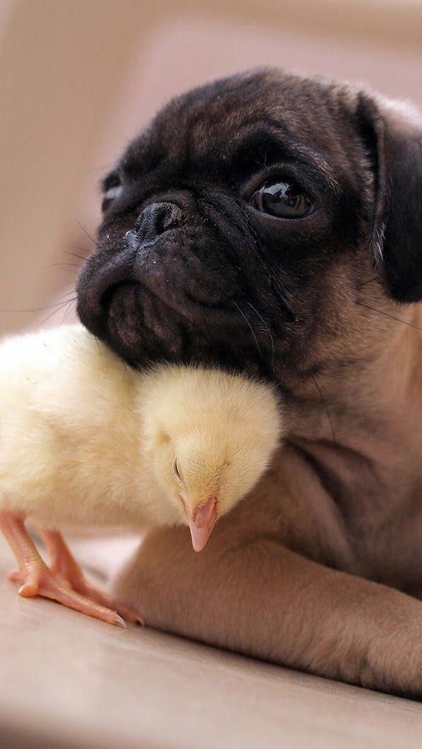 Friendship Without Any Boundaries Awww Chick And Pug Best