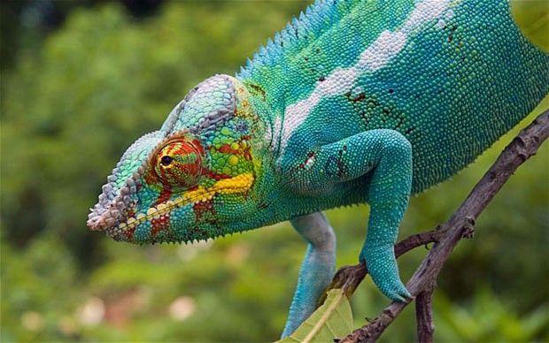chameleon facts for kids