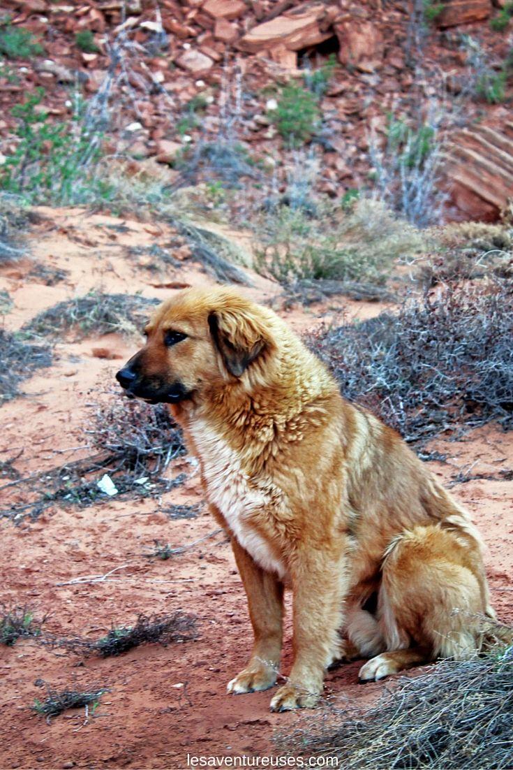 Chien de notre Guide Navajo  Monument Valley. Magnifique