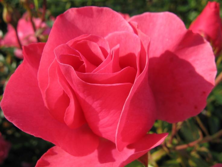 Rose in Vigeland Gardens, Oslo, Norway