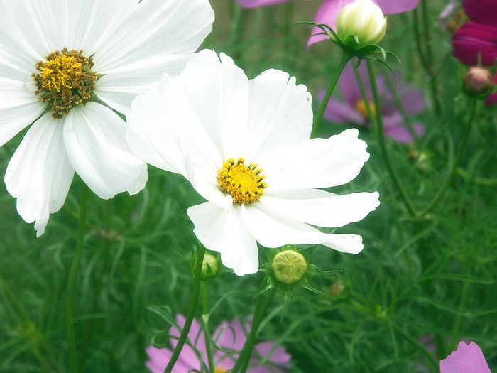 White cosmos - will have to plant out in the summer